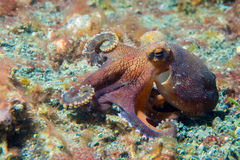 Coconut octopus underwater macro portrait on sand Royalty Free Stock Image