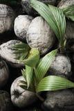 The coconut Royalty Free Stock Photos