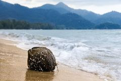 Coconut, overgrown with shells, thrown on the sandy shore waves against the mountains royalty free stock photography