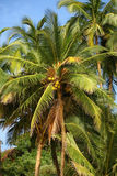Coconut palm Royalty Free Stock Photo
