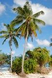 Coconut palm Stock Image