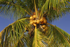 Coconut palm. Coconut tree ar Mauritius island Royalty Free Stock Photography