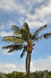 Coconut palm. Image of a coconut palm tree in Key west Florida Stock Photos