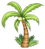 Coconut palm. Illustration of isolated palm on white Stock Photo