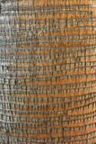 Coconut palm. Striped bark of a coconut palm tree Stock Images
