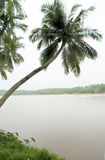 Coconut palm. Tree leabing into the river with little plants in the foregrount stock photo