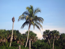 Coconut Palm. Tree in The Everglades region of Southwest Florida Stock Photos