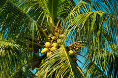Coconut Palm. Palm tree located in Key West, Florida stock image