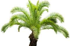 Coconut Palm. Stock Image