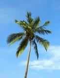 Coconut palm against blue sky Stock Photos