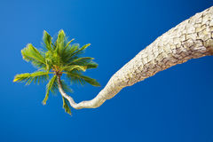 Coconut palm against blue sky with copyspace Royalty Free Stock Photos