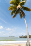 Coconut palm on the beach Royalty Free Stock Image