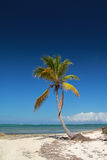 Coconut palm  on beach Stock Photography