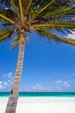 Coconut palm at beach Royalty Free Stock Images