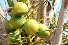 Coconut. The coconut palm bears much fruits. Scientific name: Cocos nucifera royalty free stock image