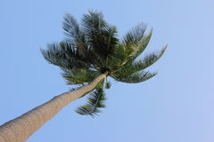 Coconut palm from below. A beautiful coconut palm tree seen from below under an immaculate blue sky Stock Images