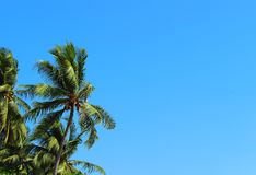 Coconut palm on the blue sky background stock image
