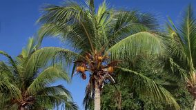 Coconut Palm Breeze Tropical Nature Sky Yellow Royal. Trees, coconut palm, swaying branches of yellow coconut fruits on blue sky background. Tropical nature stock video