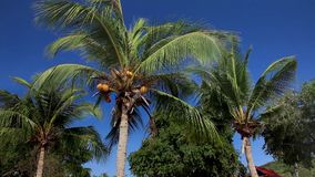 Coconut Palm Breeze Tropical Nature Sky Yellow Royal. Trees, coconut palm, swaying branches of yellow coconut fruits on blue sky background. Tropical nature stock footage