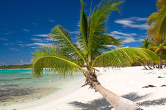 Coconut palm on caribbean beach, Saona Stock Photography