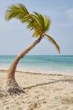 Coconut palm on the caribbean beach Stock Photos
