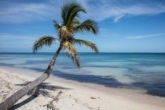 Coconut Palm on Caribbean Island Royalty Free Stock Image