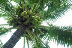 Coconut palm. The close-up of coconut palm royalty free stock photo