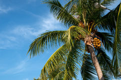 Coconut palm Royalty Free Stock Photos