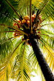 Coconut palm (coconut). A beautiful palm tree, the tree node is full of coconut Stock Photo