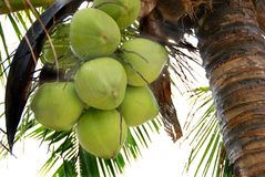 Coconut palm (coconut). A beautiful palm tree, the tree node is full of coconut Royalty Free Stock Images