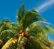 Coconut palm with coconuts. Coconut tree against blue sky Stock Photos