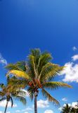 Coconut palm (Cocos nucifera). With bright blue sky  and cloud on background Stock Photography