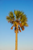 Coconut Palm (Cocos nucifera) in Tropical Light Royalty Free Stock Image
