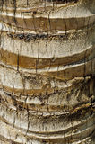 Coconut palm (Cocos nucifera) trunk Stock Photography