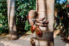 Free Coconut Palm Crab Perched On A Tree On A Pacific Island On Vacation Royalty Free Stock Photography - 168420757