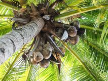 Coconut palm,dried coconuts. Royalty Free Stock Photography