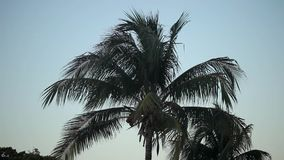 Coconut palm at the evening stock video footage