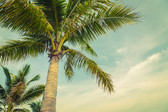 Coconut palm( Filtered image processed vintage effect. ) Stock Image