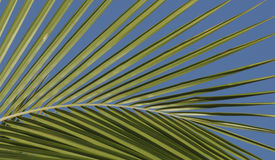 Coconut Palm Frond. A young coconut palm frond against blue morning sky Royalty Free Stock Images