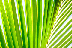 Coconut palm fronds. Close up of green coconut palm fronds against sunny blue skies royalty free stock photos