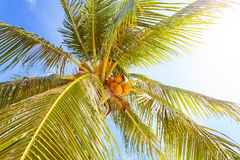 Coconut palm with fruits against sun background Royalty Free Stock Photography