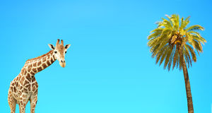 Coconut palm and giraffe Royalty Free Stock Image