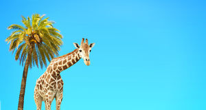 Coconut palm and giraffe Stock Image