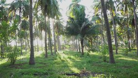 Coconut tree farm with green land. pan shot of coconut grove
