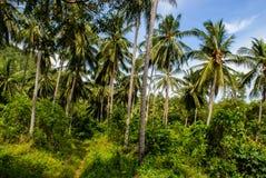Coconut palm grove on the tropical Thai island  Koh Samui. Coconut palm grove on the tropical Thai island Koh Samui stock images
