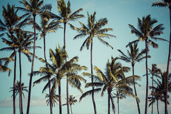 Coconut palm in Hawaii, USA. Stock Photography