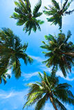 Coconut palm heads on blue sky Royalty Free Stock Photos