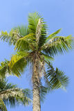Coconut palm Stock Image