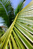 Coconut palm leaf Stock Photo