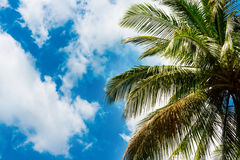 Coconut palm leaves against the sky Stock Image